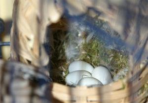 Oeufs de diamant mandarin dans un nid en osier