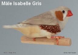 Diamant-Mandarin-Mâle-Isabelle-Gris