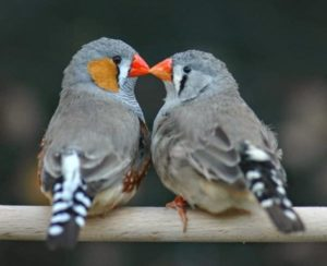 Diamant-Mandarin-couple-sur-perchoir